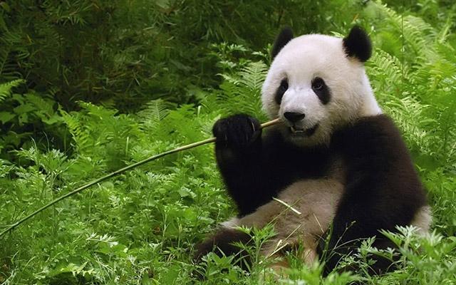 panda-mange-bambou